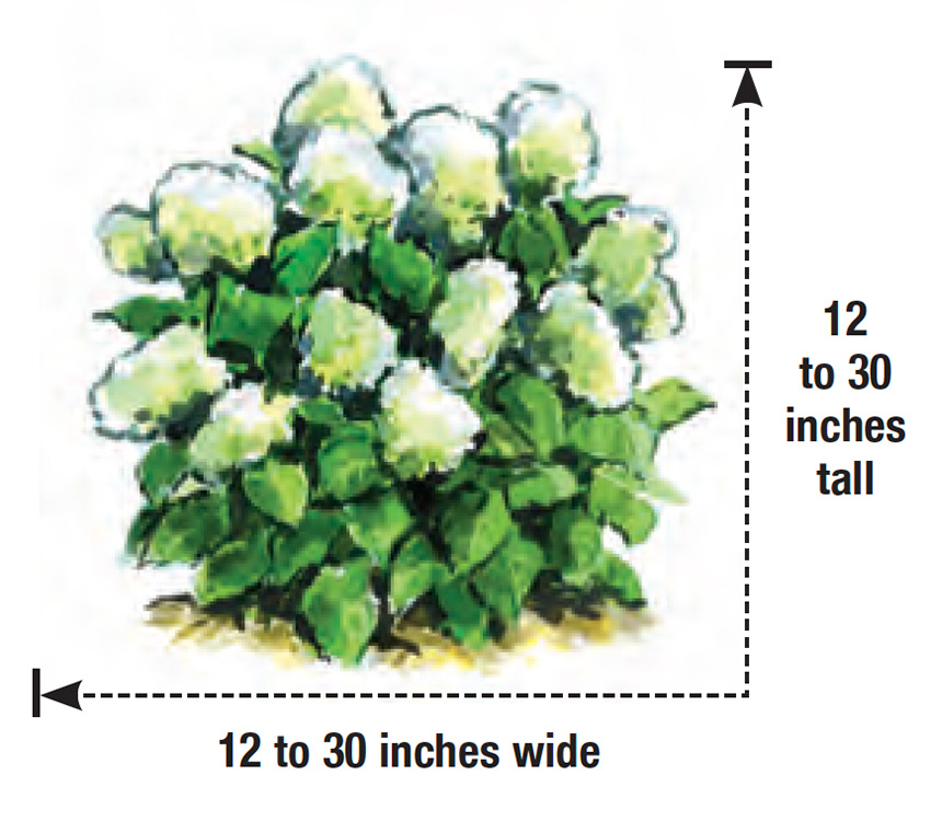 Invincibelle Wee White smooth hydrangea height and width