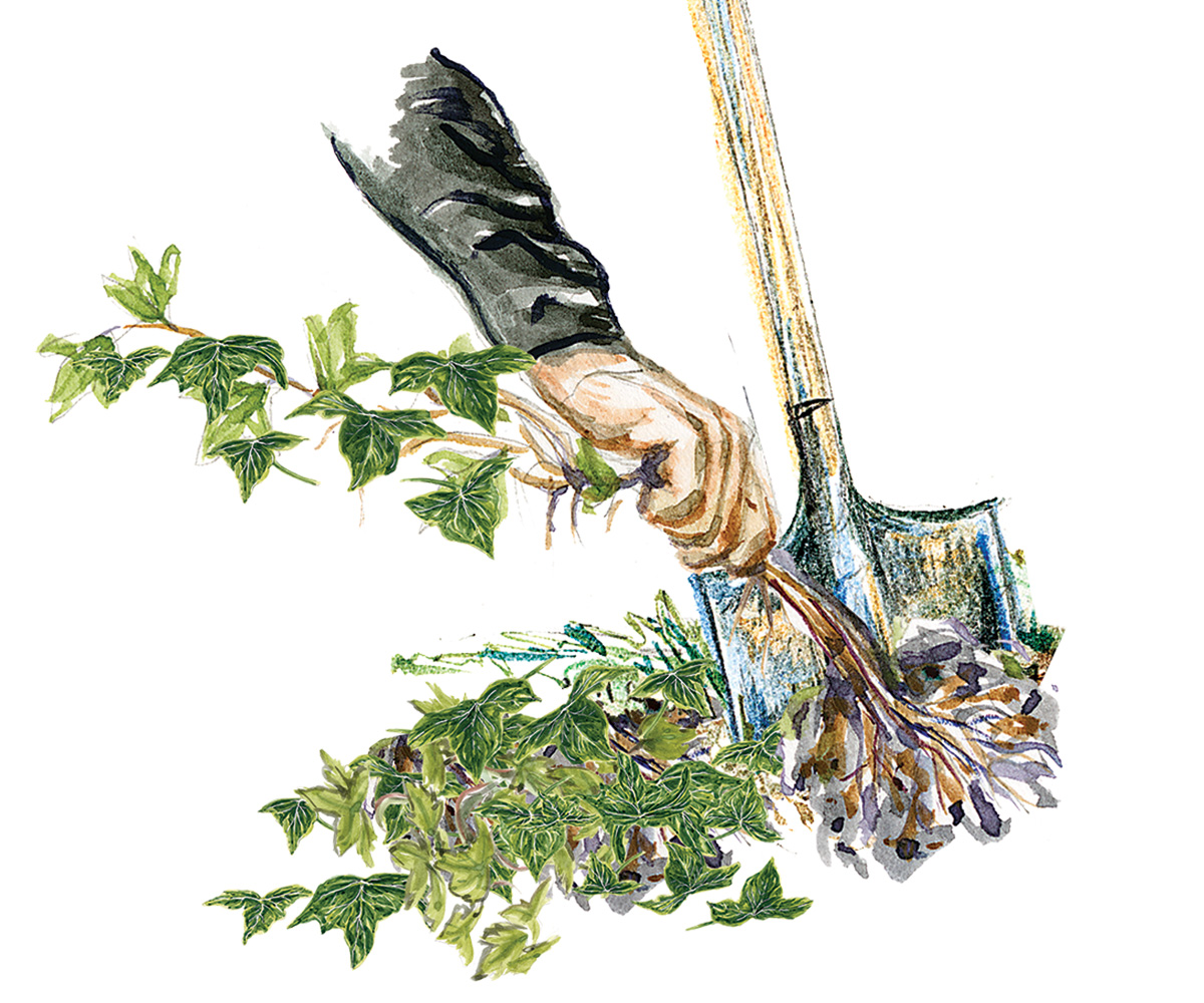 manual removal of invasive plant