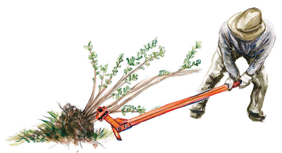 pulling an invasive plant from the ground