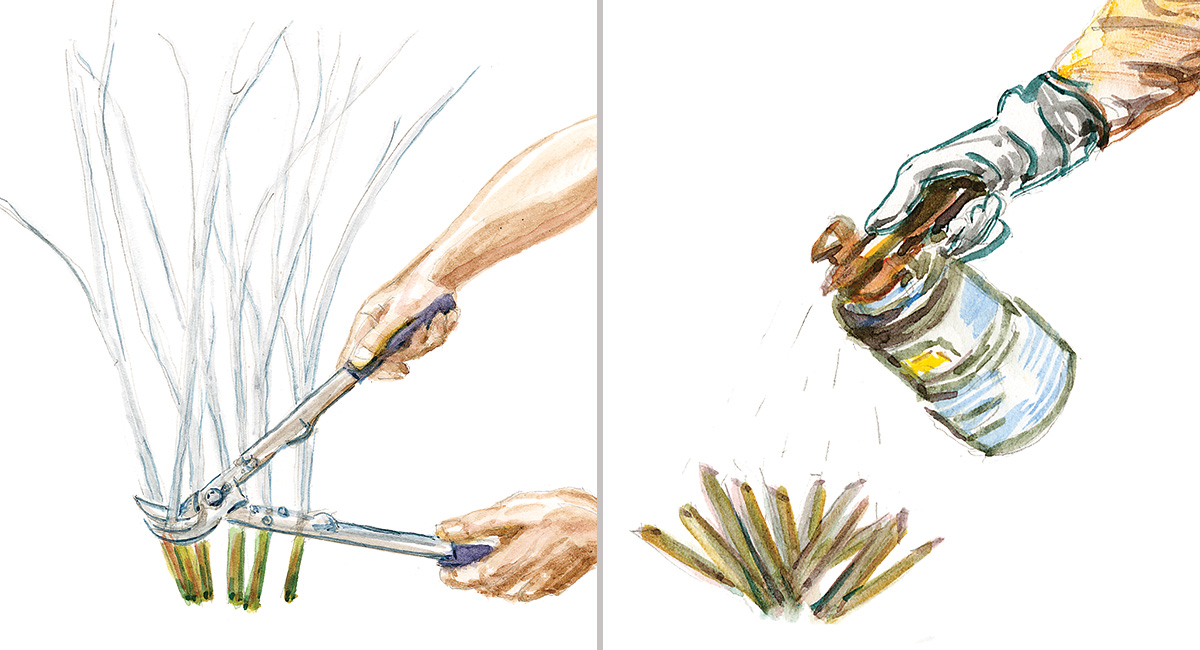 cutting and spraying an invasive plant