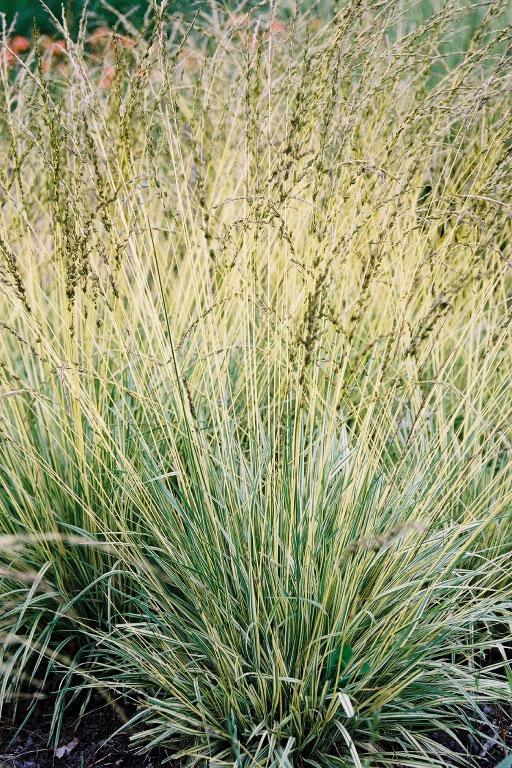 Variegated purple moor grass (Credit: Intrinsic Perennial Gardens)