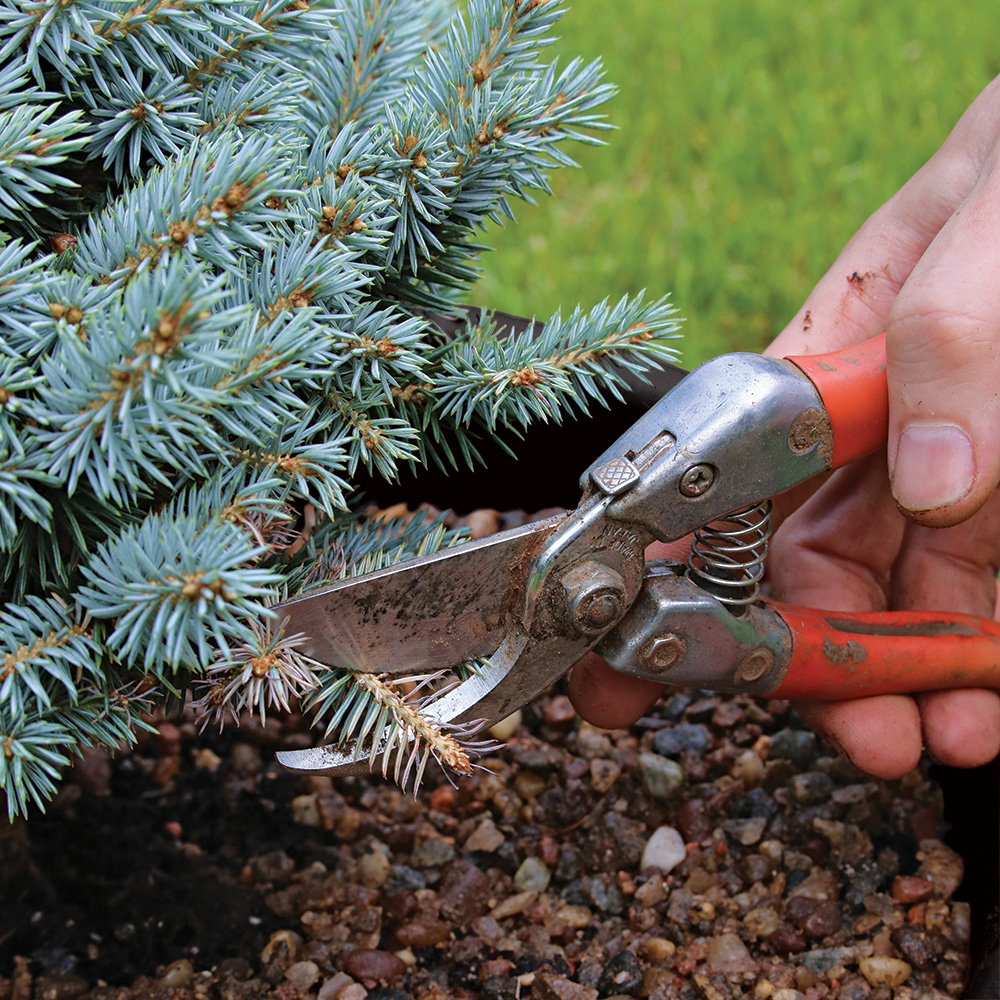 pruning dead conifer branches