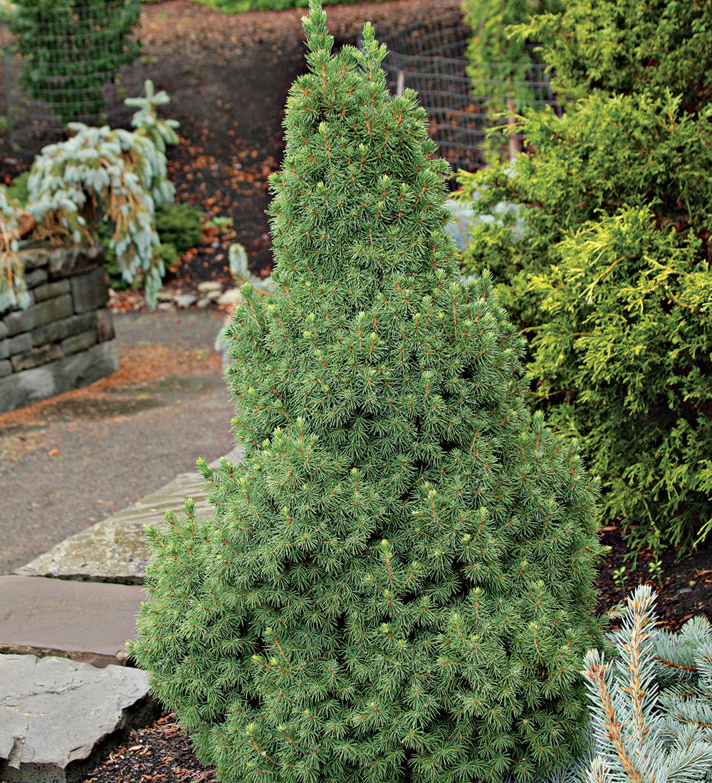 Daisys White Alberta spruce