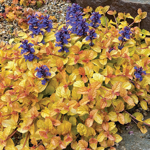 ground cover with color