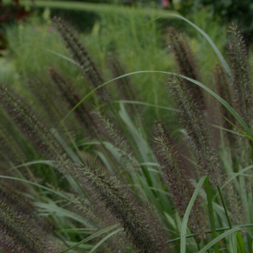 'Moudry' fountain grass close-up of plumes
