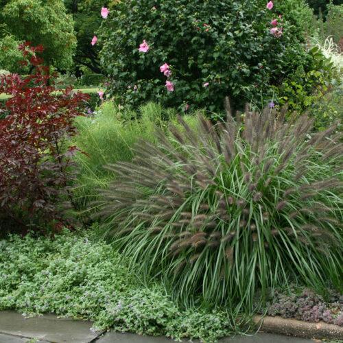 'Moudry' fountain grass habit