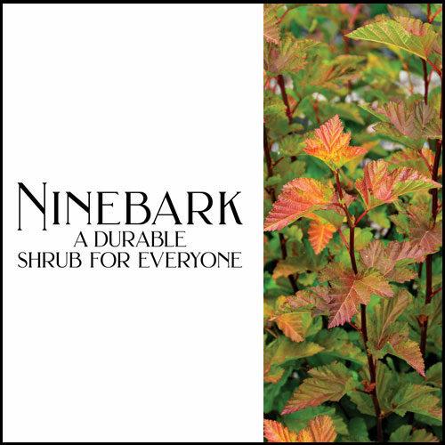 The Best Ninebark Shrubs for the Garden