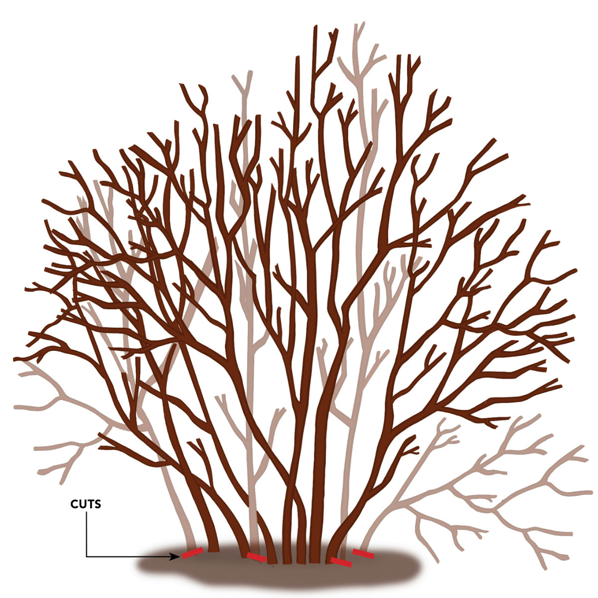 Selectively remove up to a third of the oldest stems each year (in late winter) over a three-year cycle.
