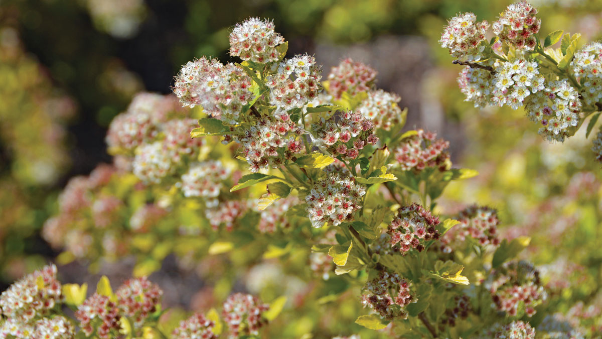 Raspberry Lemonade™ Ninebark Flower Close-up