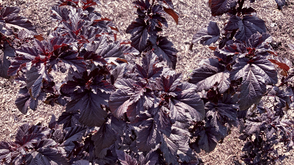 Panther® Ninebark dark purple leaves