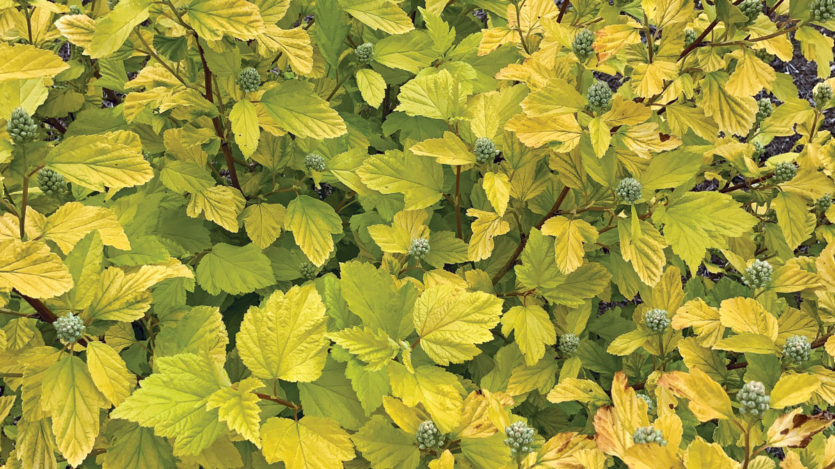 Close-up of Ninebark photo of Canary Cheers™ yellow-green leaves