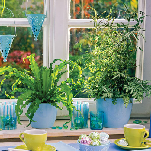 Ferns thrive in indirect light, like that from a north-facing window. However, they are sensitive to drafts and shouldn't be near a cold window in the winter.