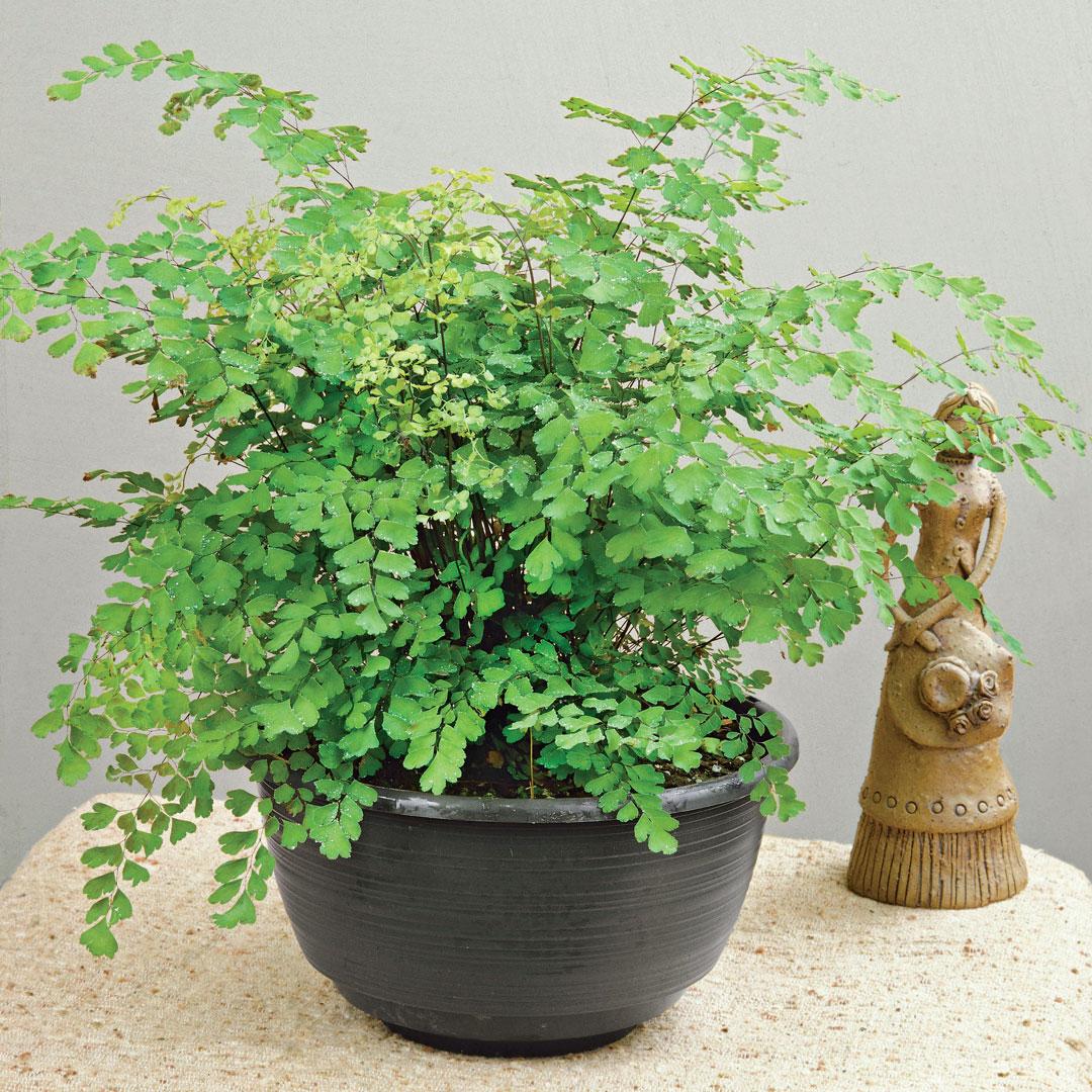 Delta maidenhair fern in a pot