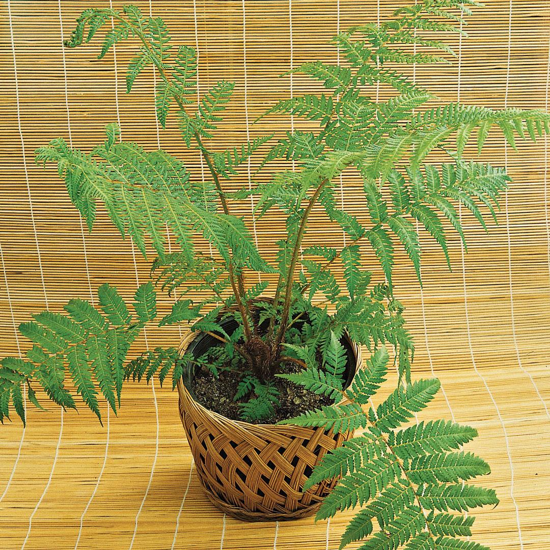 Tree fern in a pot