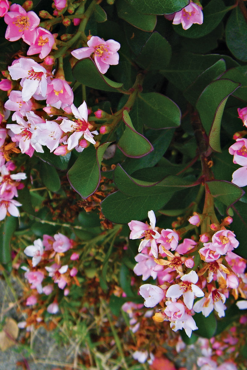 'Dwarf Pink' Indian Hawthorn