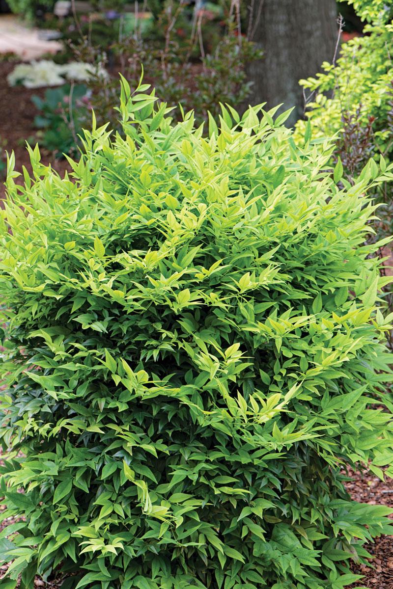 'Lemon-Lime' heavenly bamboo