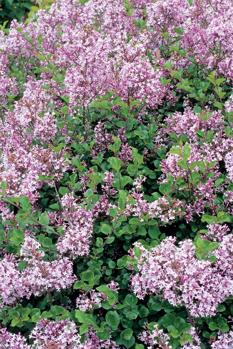 'Palibin' dwarf Korean lilac