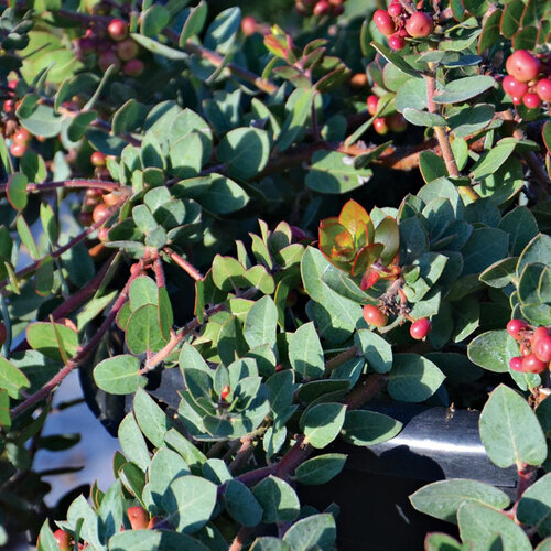 Shrubs for Small Spaces in California