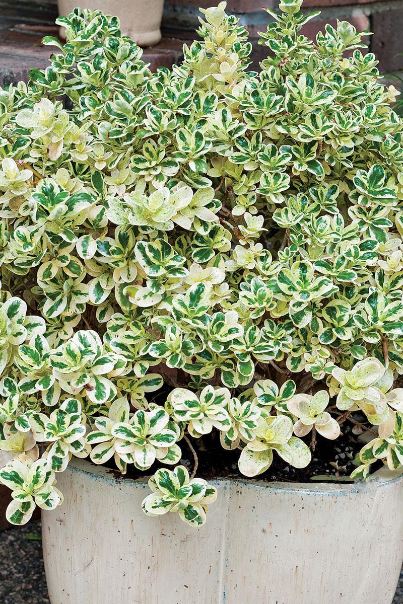 'Marble Queen' mirror plant