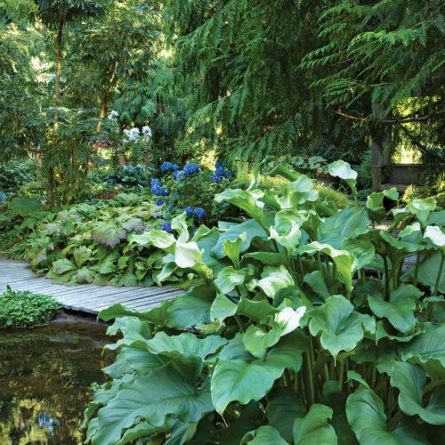 'Green Goddess' calla lily