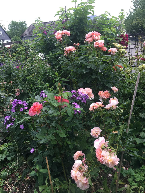 Pink rose'Augusta Louise'