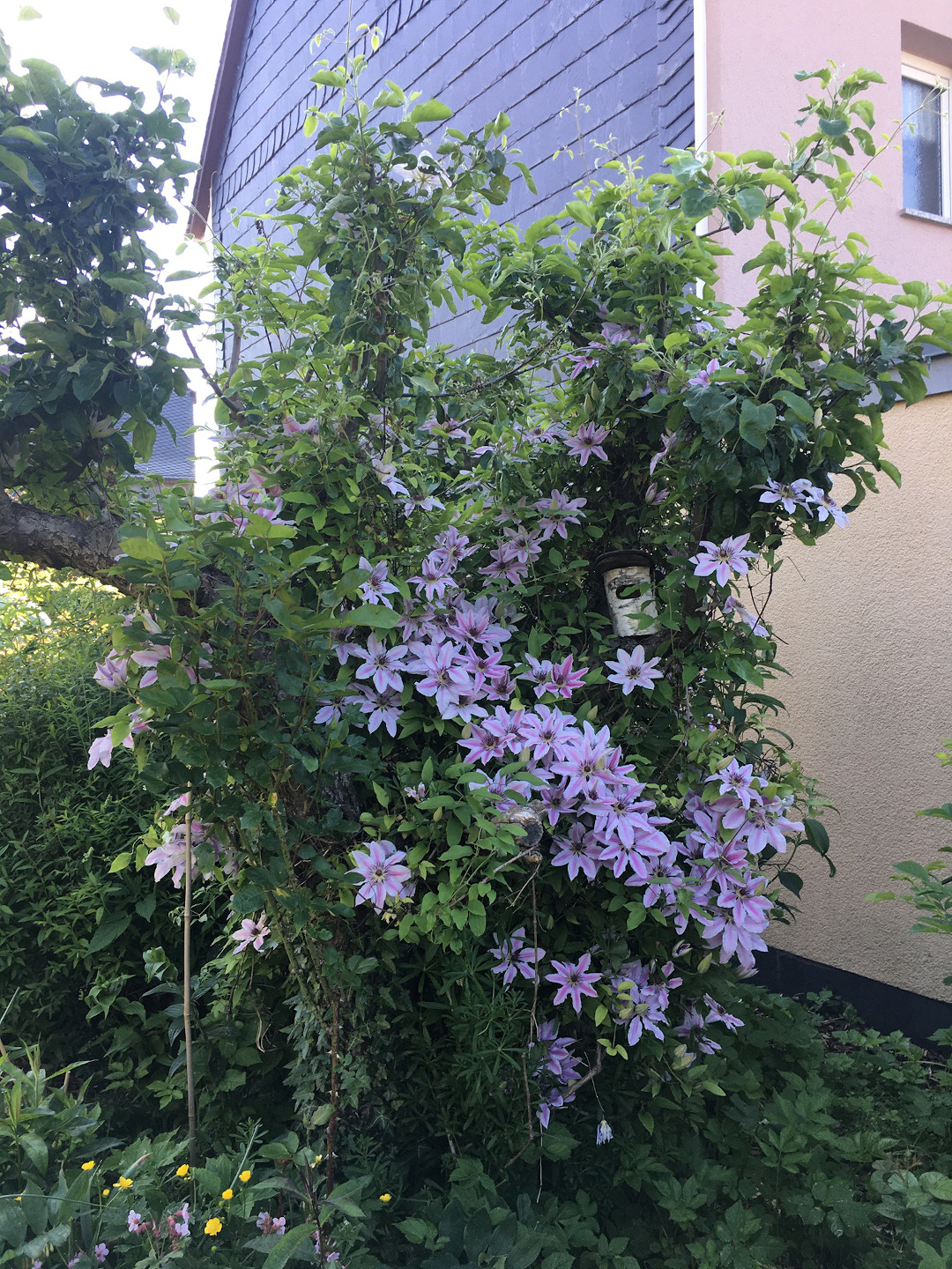 The incredible clematis'Nelly Moser' (Clematis'Nelly Moser' Zone 4 – 9) is covered with soft lavender flowers.