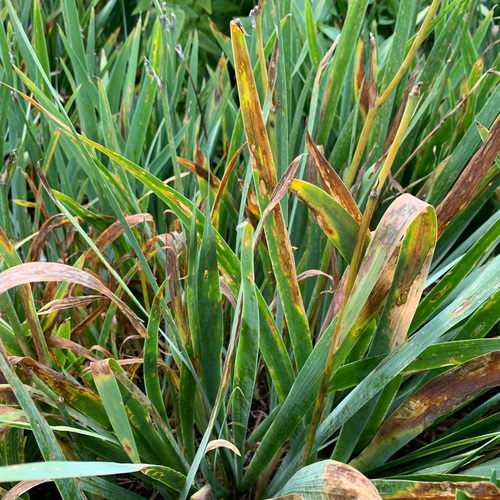 Iris leaf spot targets iris foliage after particularly moist summers.