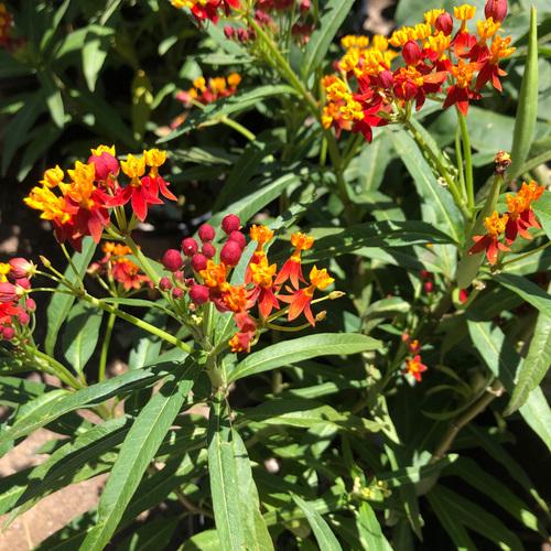 'Red Butterflies' tropical milkweed