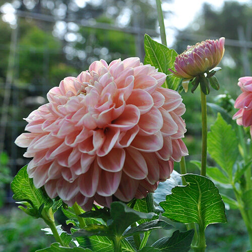 light pink dahlias