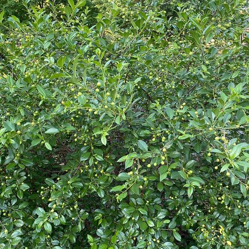 fruiting shrub