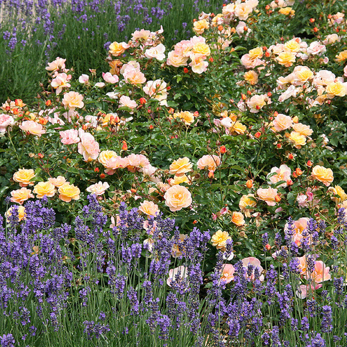 The New Generation Of Flower Carpet Roses Color Me