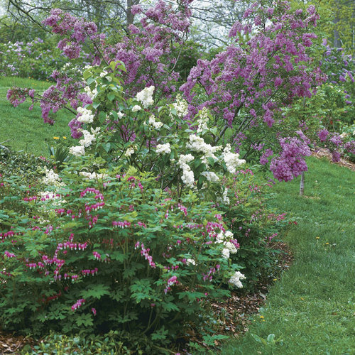 Lilacs Time For A Fresh Look Finegardening