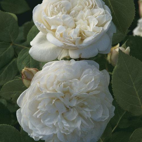 English Roses Anchor an American Shoreline Garden - FineGardening