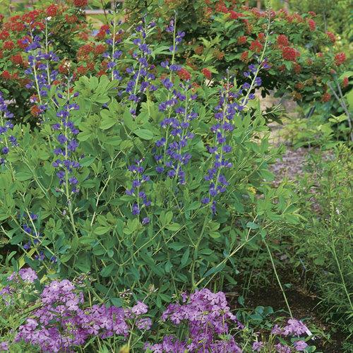 Learn to Grow Bold, Beautiful Baptisia - FineGardening