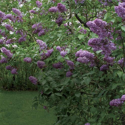 Pruning Lilacs Finegardening