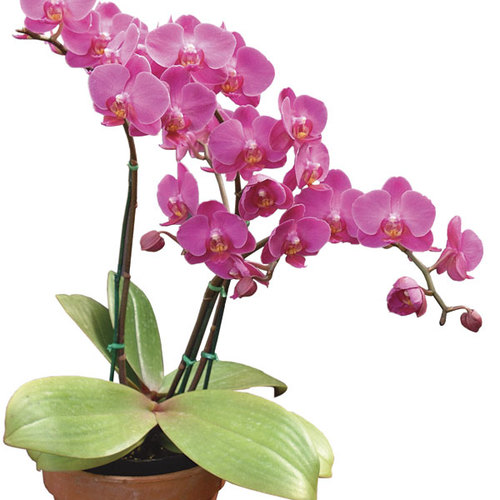 Success With Orchids Indoors Finegardening