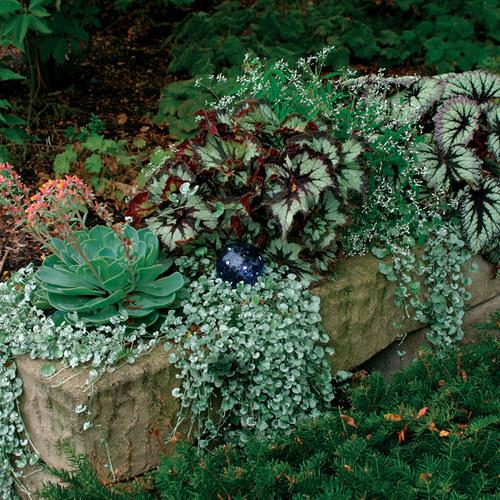 Rex Begonias Finegardening