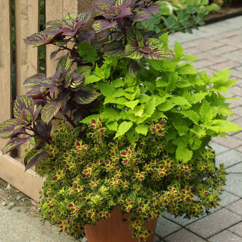 4 Ways To Design With Coleus Finegardening