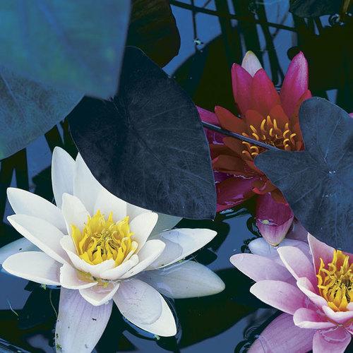 Make a big splash with a tiny water garden finegardening mightylinksfo