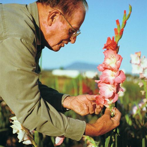 gladiolus hybrids