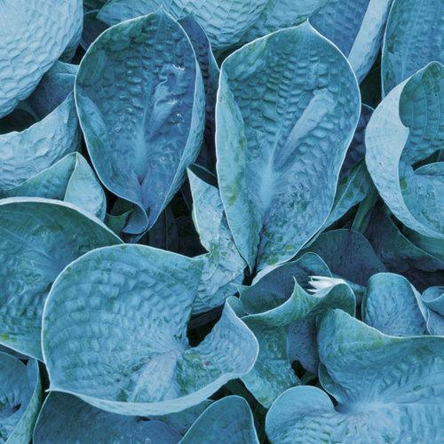 Cool Blue Hostas Finegardening
