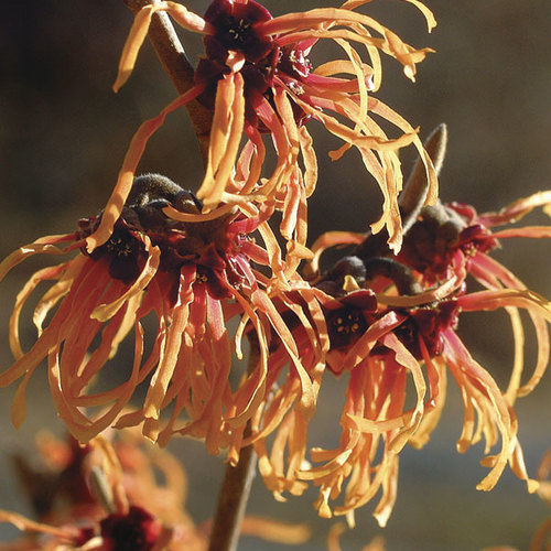 Witch Hazels Finegardening