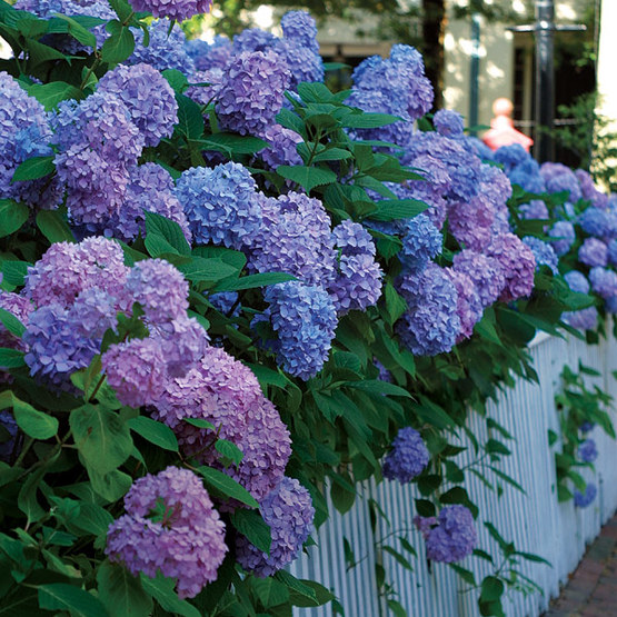 Big Flowers From Bigleaf Hydrangeas Finegardening