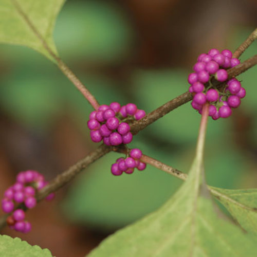 8 Trees And Shrubs With Showy Fall Fruit Finegardening