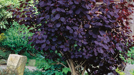 Showy shrubs for fall finegardening the only shrubs you need to grow mightylinksfo