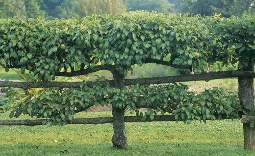 How To Grow Espalier Apple Trees Finegardening