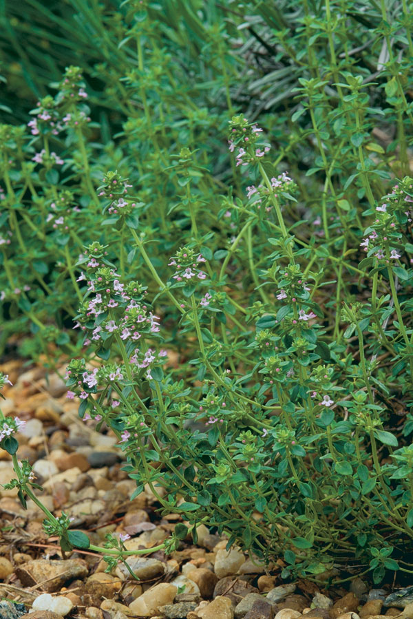 How To Grow Culinary Thyme Finegardening