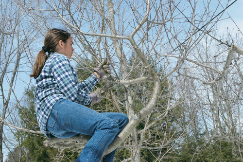 How To Prune An Old Apple Tree Finegardening