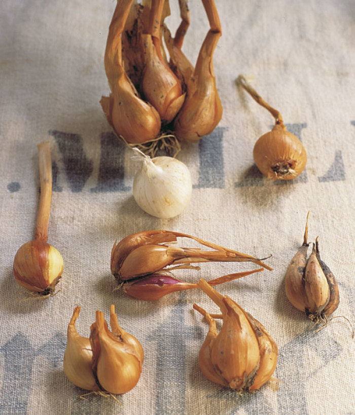 How To Grow Shallots Finegardening
