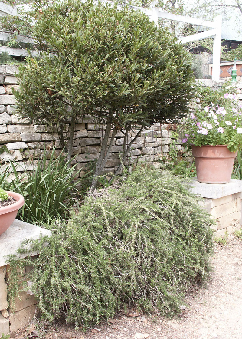 Rosemary A Robust Herb Of Winter Finegardening